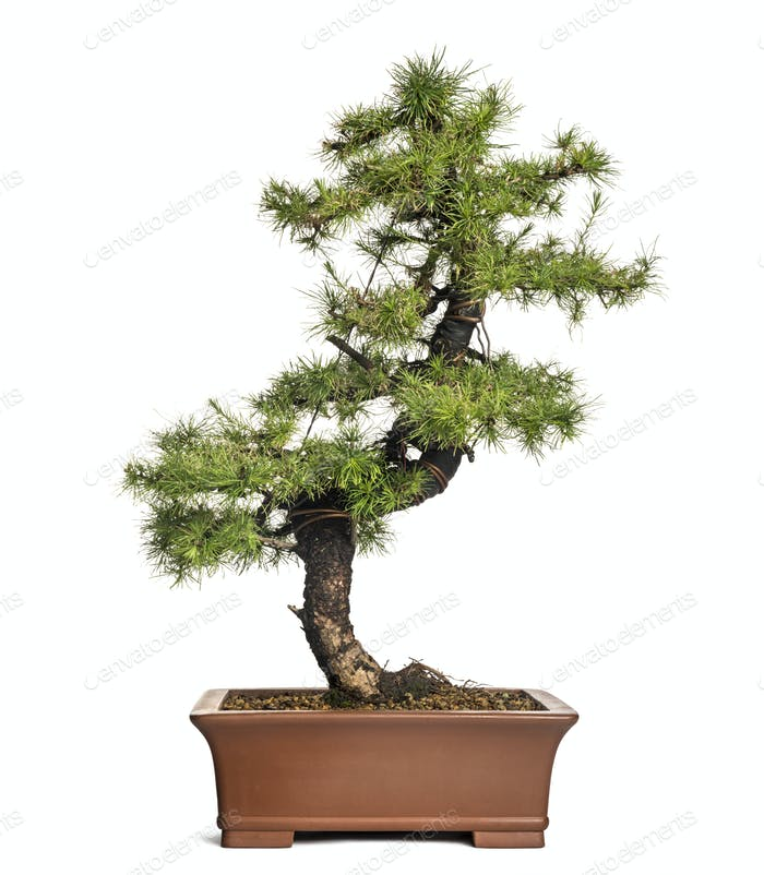 Larch bonsai tree, Larix, isolated on white
