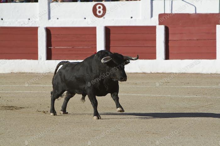 Захват фигуры отважного быка в корриде, Испания