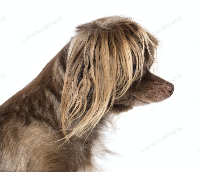 Side view of Chihuahuas head against white background