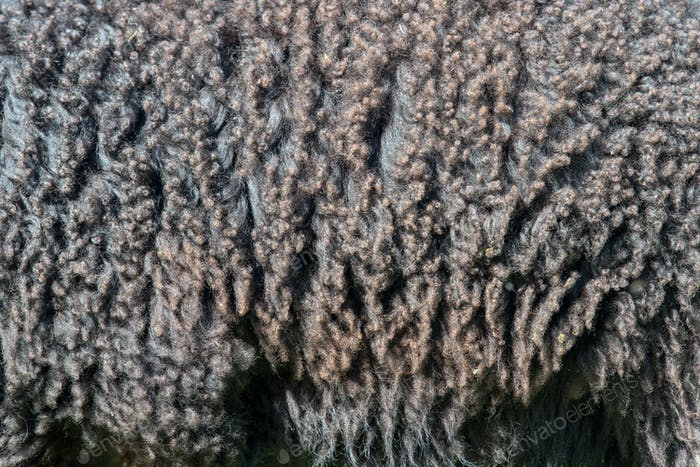 Sheep fur. Wool texture