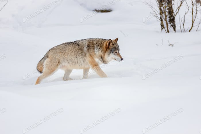 Side view of Eurasian wolf strolling on snow