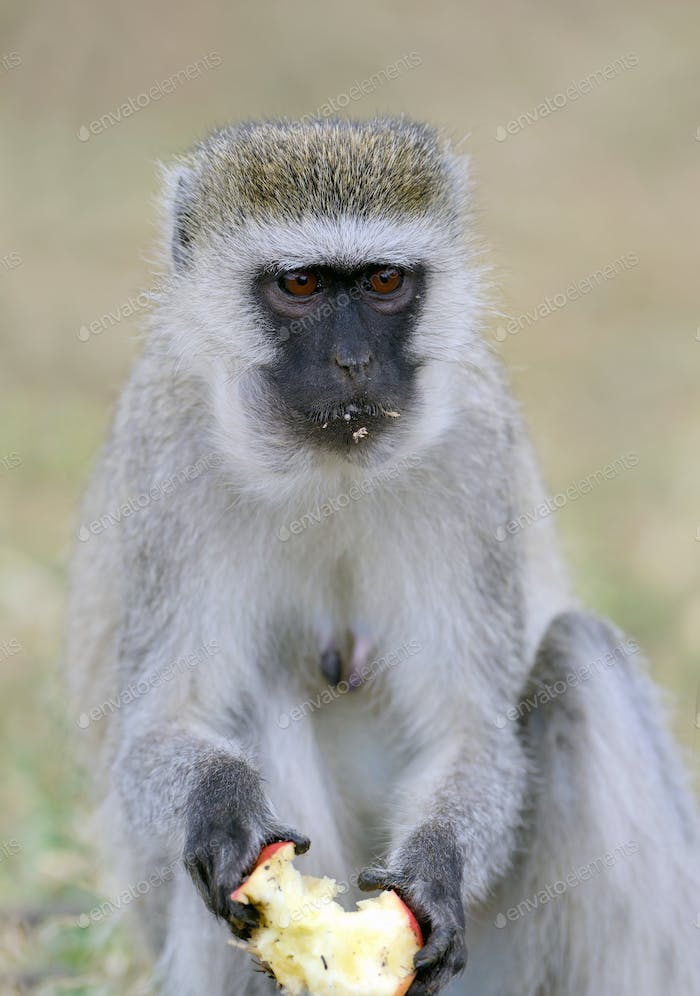 Vervet Monkey eat apple