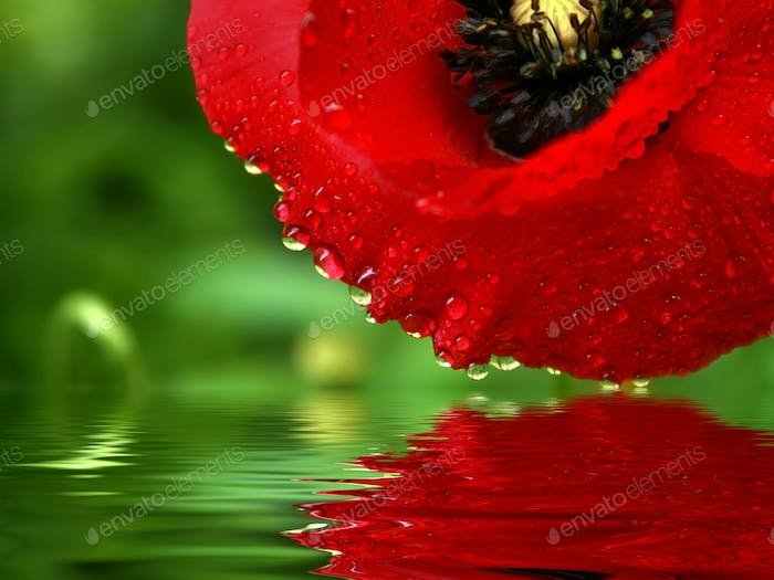 Reflection beautiful poppy flower in water. Spring flower