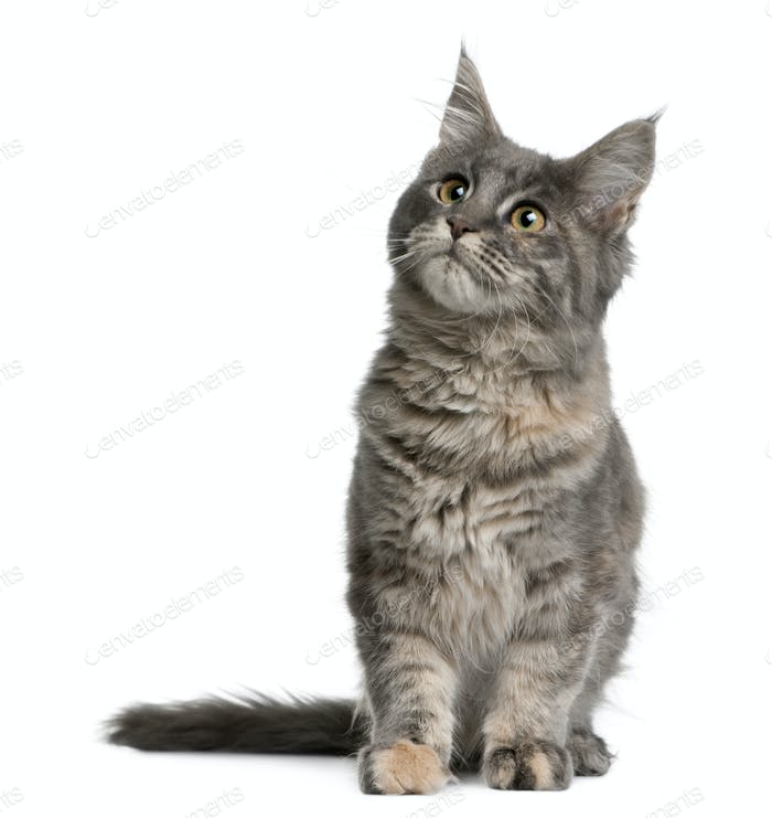 Maine coon kitten, 4 months old, sitting in front of white background