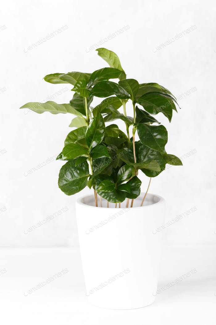 Coffee arabica in a pot