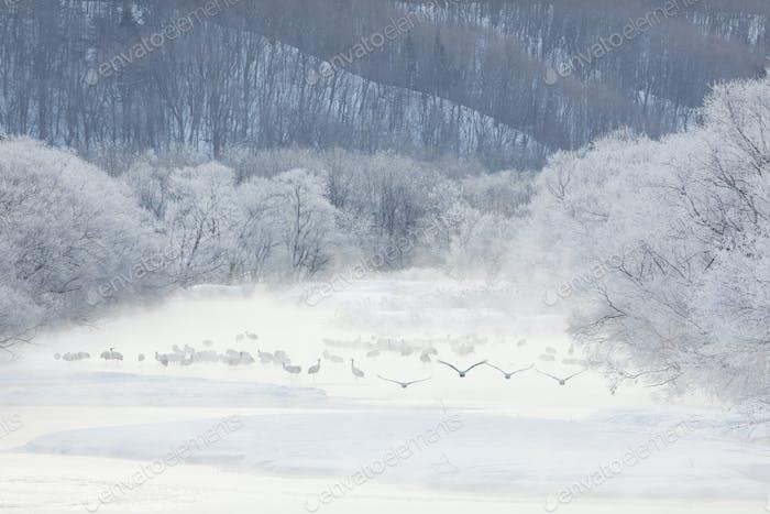 Herde von Rot-gekrönten Kranichen (Grus japonensis) im Wald im Winter.