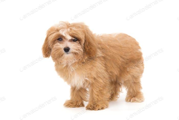 Little puppy maltipoo