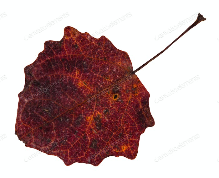 red fallen leaf of aspen tree isolated on white
