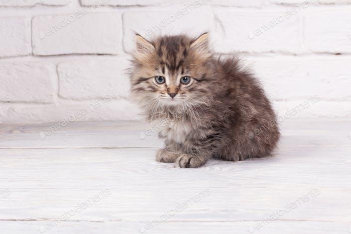 Young fluffy kitten