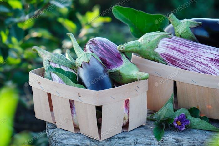 Fresh organic purple eggplant, in the garden