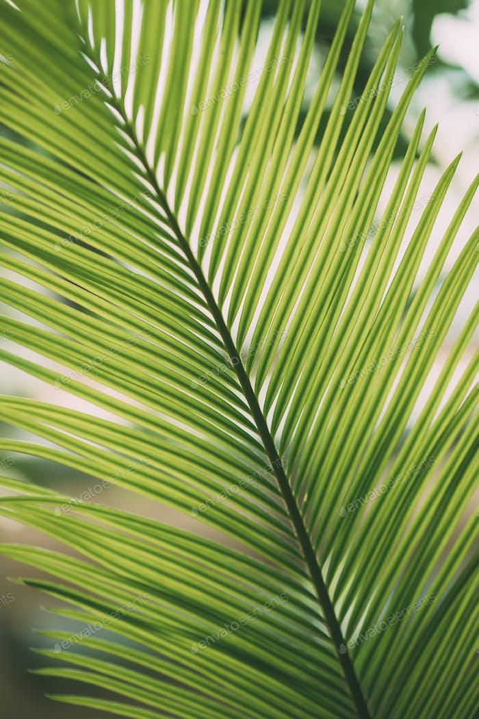 Green Leaves Of Cycas Revoluta In Botanical Garden