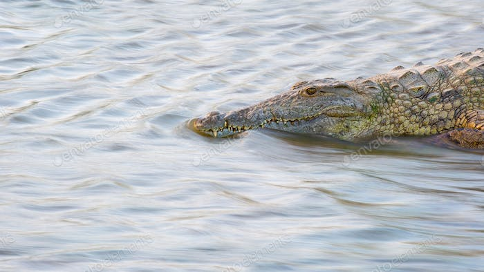 A crocodile, Crocodylus niloticus, stands in flowing water