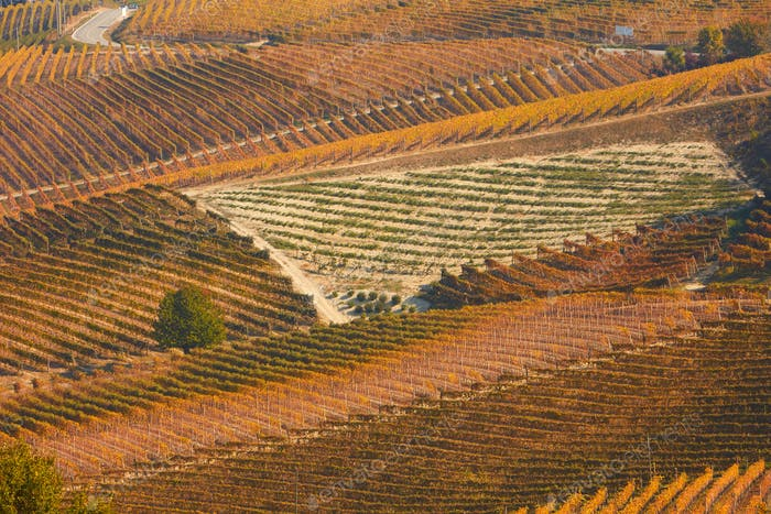 Vineyards in autumn with brown leaves and street in a sunny day