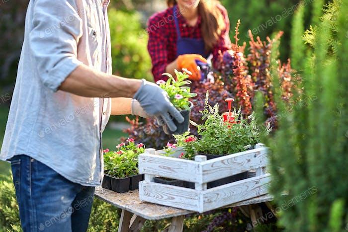 Guy Gärtner in Gartenhandschuhen legt die Töpfe mit Sämlingen in der weißen Holzkiste auf den Tisch und