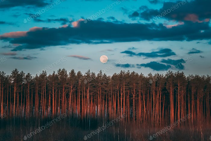 Full Moon Rising Above Pine Forest Landscape In Belarus Or Europ