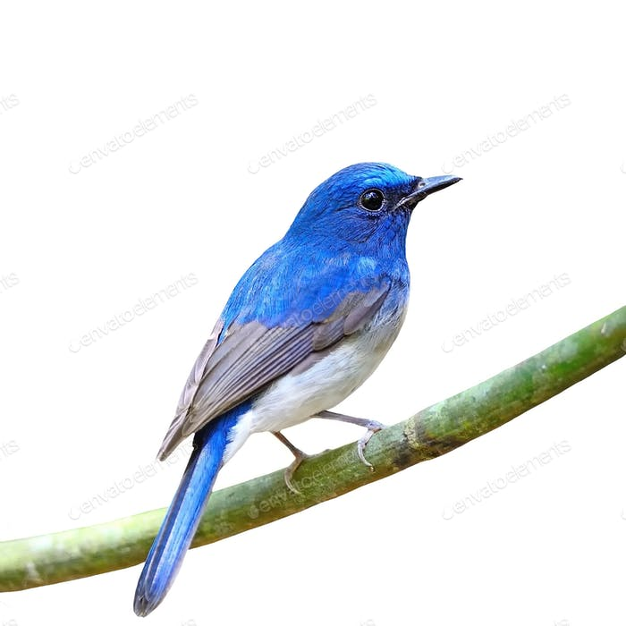male Hainan Blue Flycatcher isolated