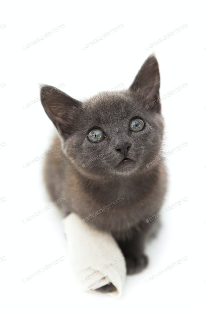 Grey kitten with a bandage on its paw on white background