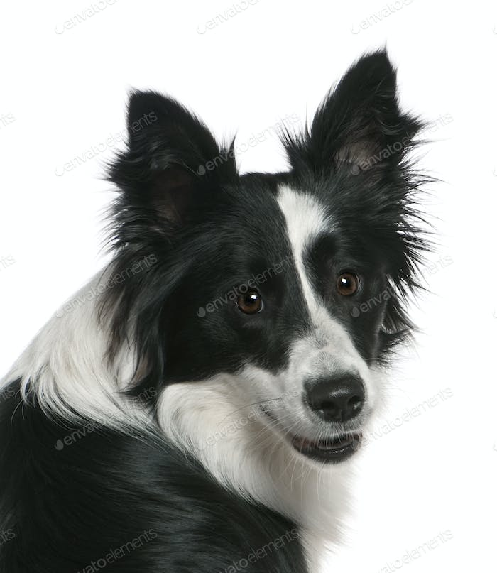 Close-up of Border Collie, 16 months old, in front of white background