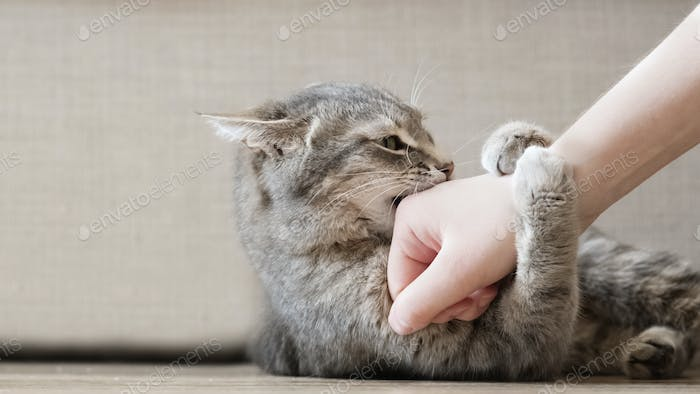 Aggressive gray cat attacked the owner's hand.