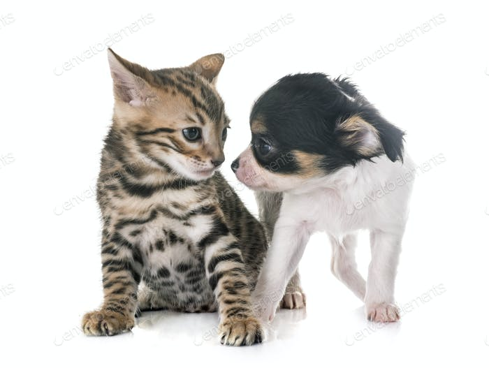 bengal kitten and puppy chihuahua