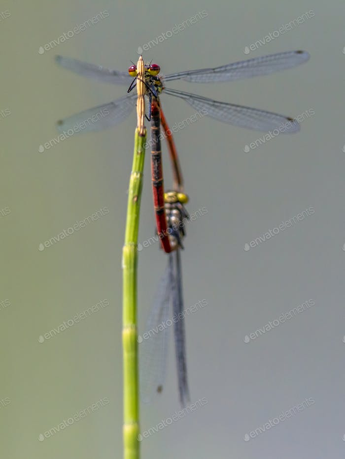 Pair of Large red damselfly copula