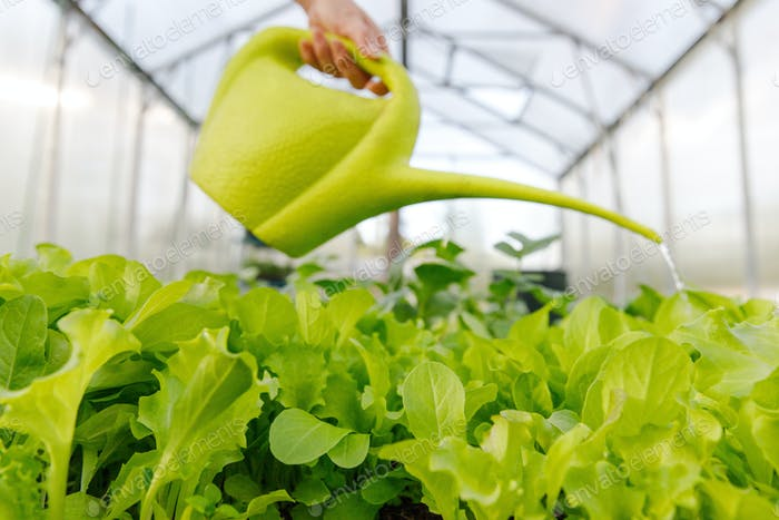 Woman watering a young salad from a watering can in the greenhouse