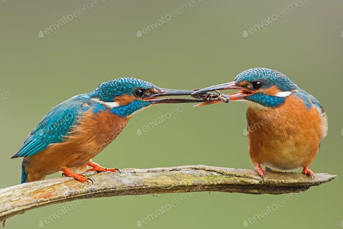 Two common kingfishers, alcedo atthis passing a fish one to another