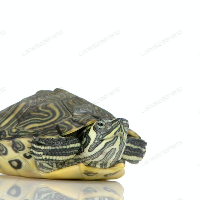 Turtle  - Acanthochelys