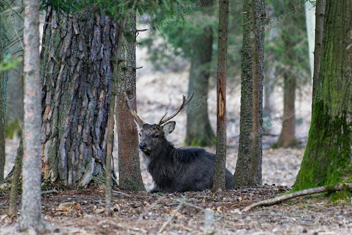 A Manchurian Sika Deer (Cervus nippon mantchuricus or Cervus nippon dybowskii)