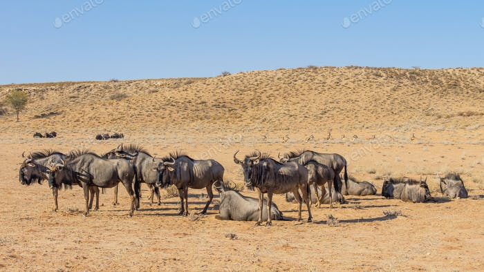 Blue Wildebeest Resting