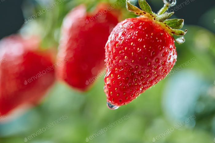 Closeup of ripe strawberries with drops of dew in a rural garden. Organic product