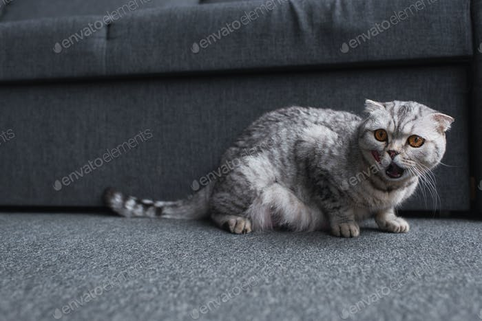 scottish fold cat sitting near couch and meowing in living room