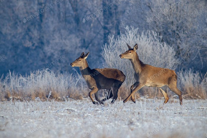 Red deer, cervus elaphus, running on meadow with frost covered grass in winter