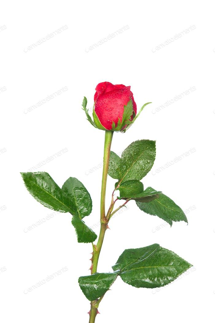 Einfacher Rosenstiel