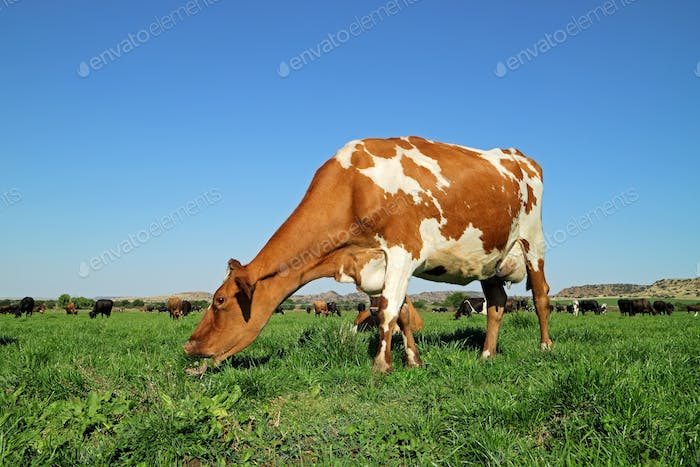 Dairy cow on green pasture
