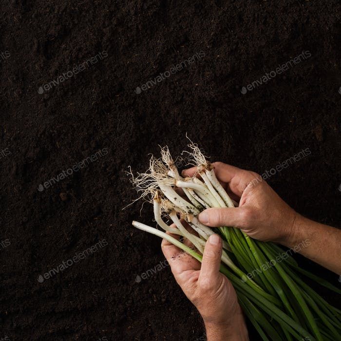 Hands holding onion with green leaves