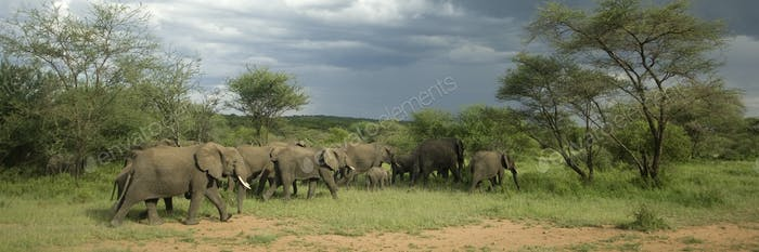 Herd of elephant in the serengeti plain