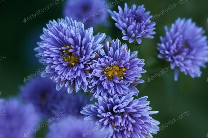 Background of the violet Michaelmas Daisy flowers