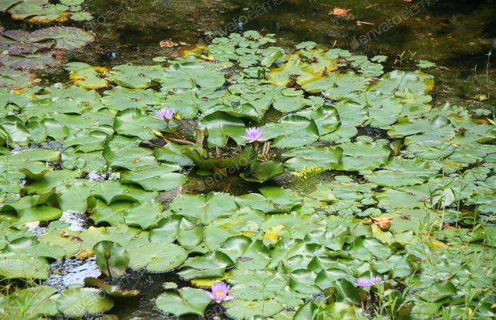 Lilly Pad Background on Hawaii