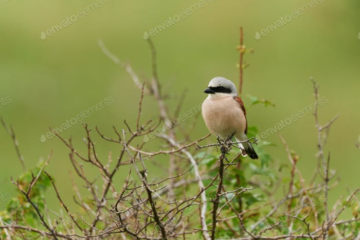 The red-backed shrike