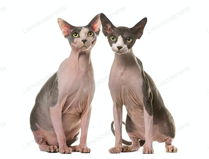 Two Sphinxes sitting in front of a white background