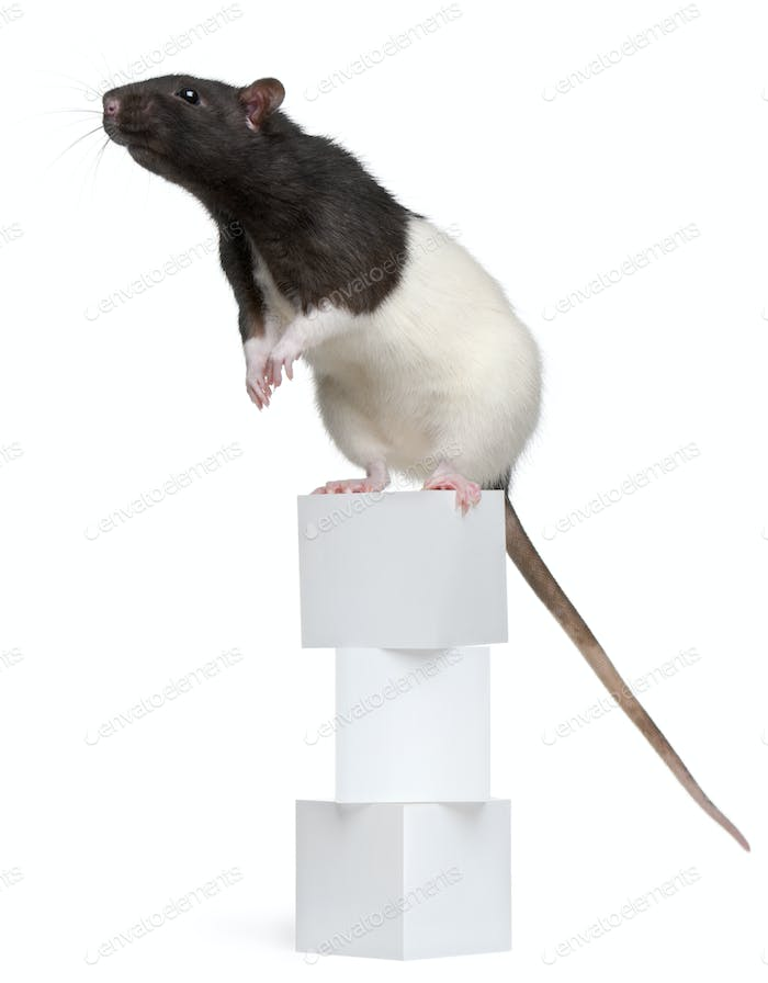 Fancy Rat, 1 year old, standing on boxes in front of white background