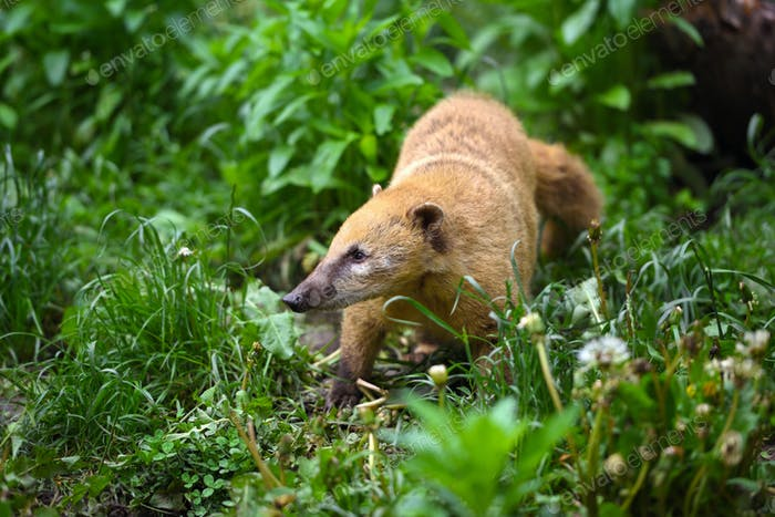 South American Coati (Nasua), wild animal looking like raccoon