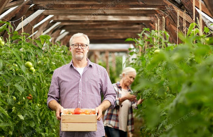old couple with box of tomatoes at farm greenhouse