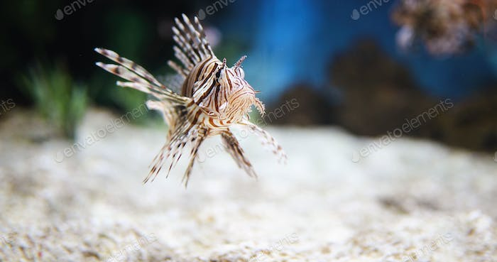 Portrait of beautiful venomous lion fish in aquarium
