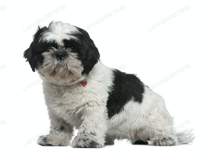 Shih Tzu, 1 year old, sitting in front of white background