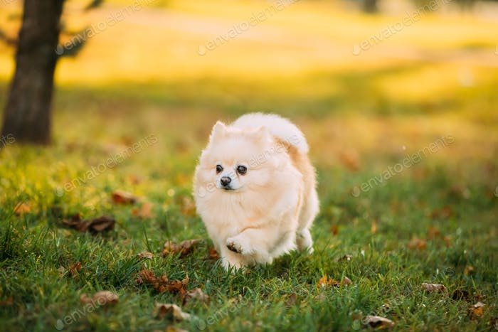 Adult White Pomeranian Spitz Dog Walking Outdoor In Autumn Grass