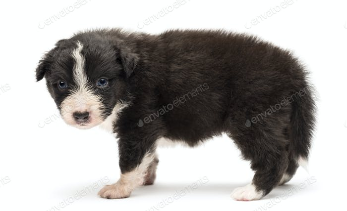 Side view of an Australian Shepherd puppy, 24 days old