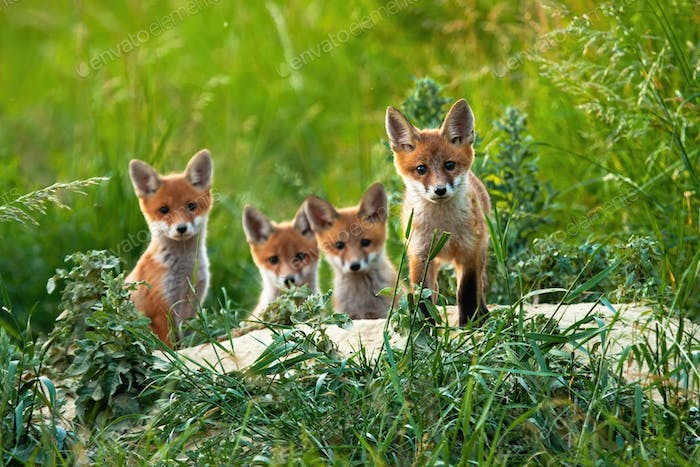 Beautiful portrait of four red fox cubs posing out of their hole in summer