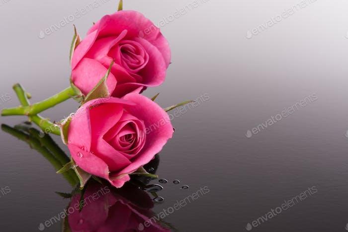 flor de rosa con reflejo en la superficie oscura bodegón